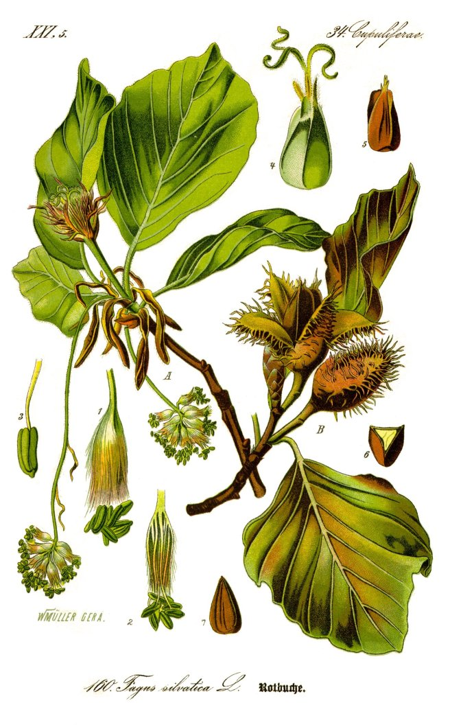 Illustration of beech (Fagus sylvatica)