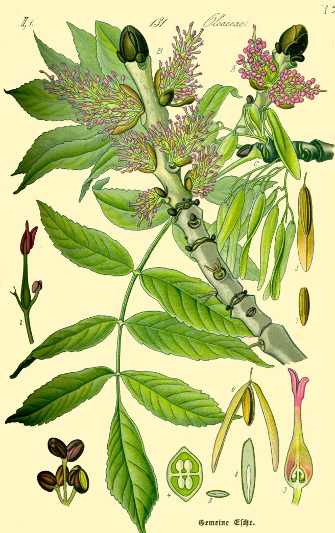 Botanical illustration of ash (Fraxinus excelsior)