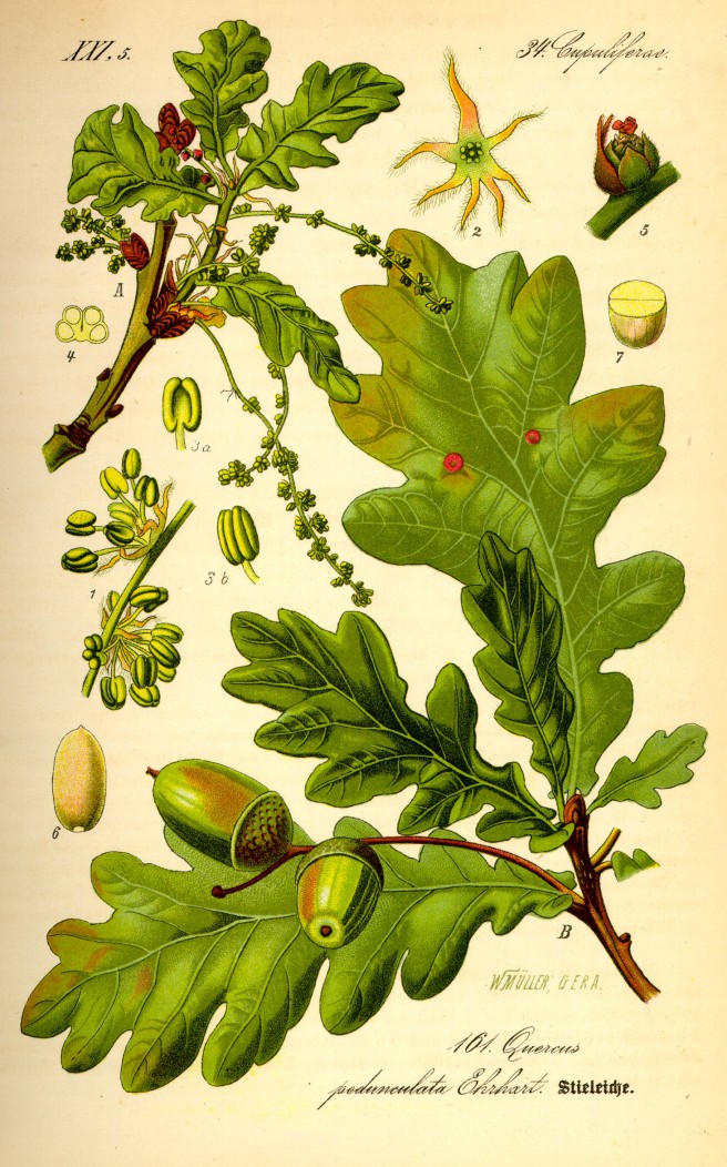 Botanical illustration of an oak (Quercus robur)