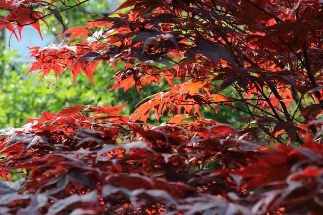 Acer palmatum | Wolves in London