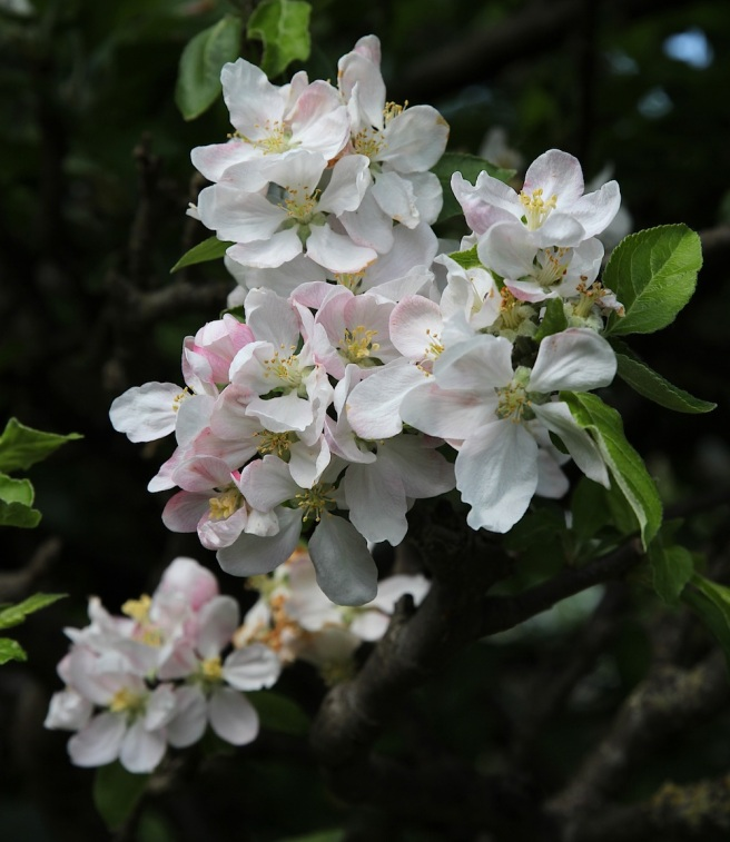 Apple blossom in the garden | Wolves in London
