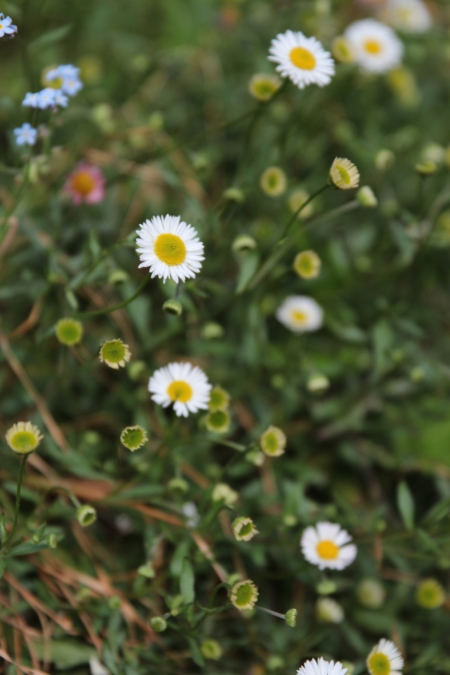 Erigeron karvinskianus | Wolves in London