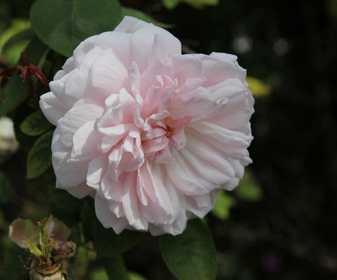 pink frilly rose