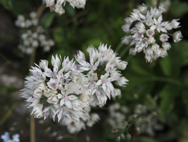 White allium | Wolves in London