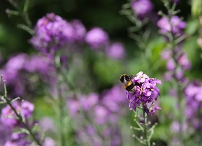Bee on erysimum