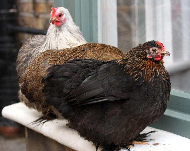Chickens on a windowsill