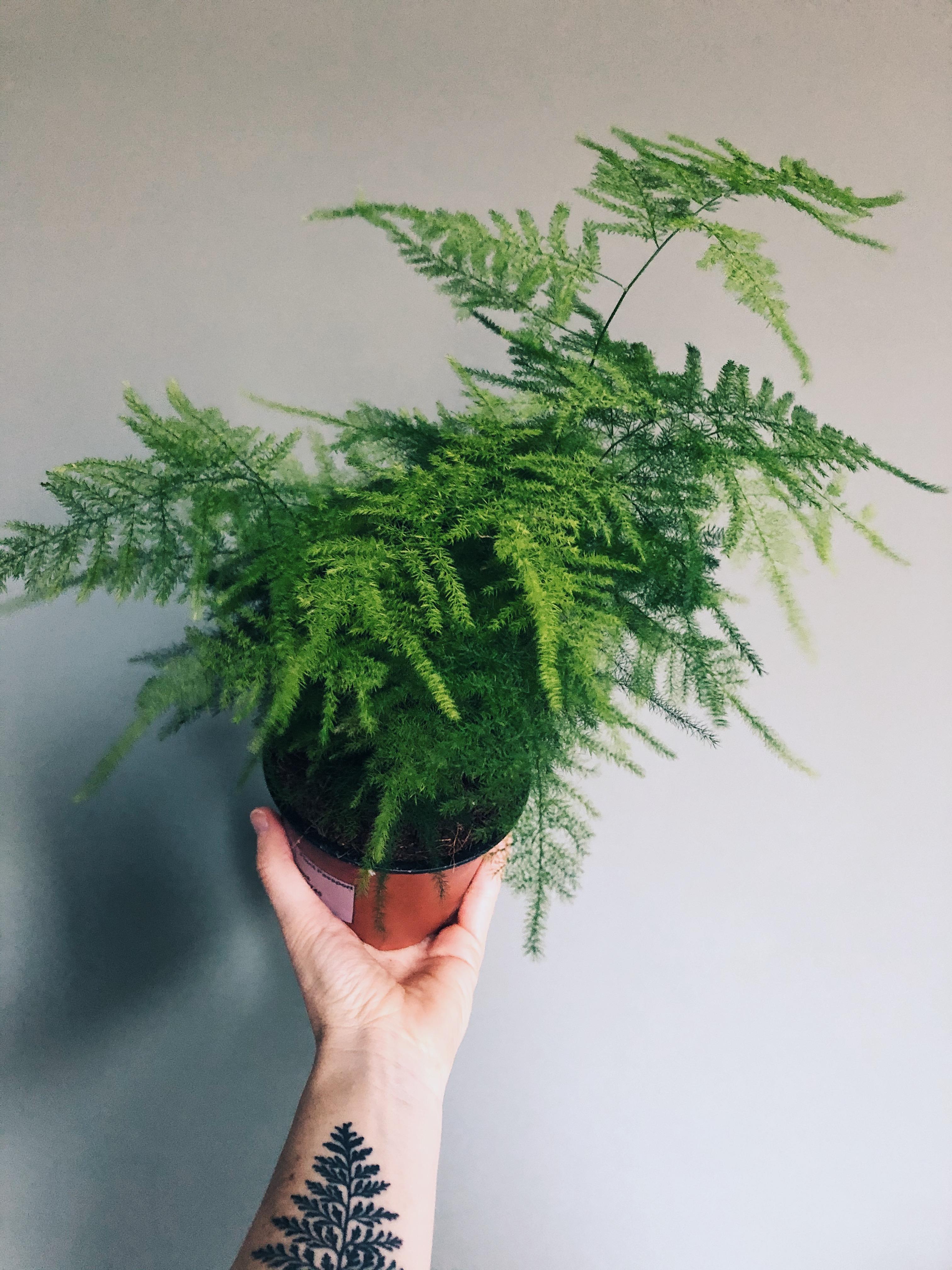 Asparagus setaceous
