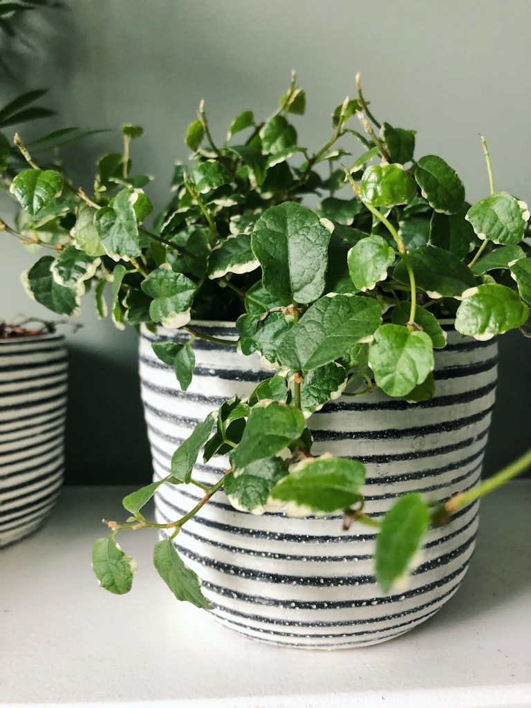Creeping fig in stripy pot
