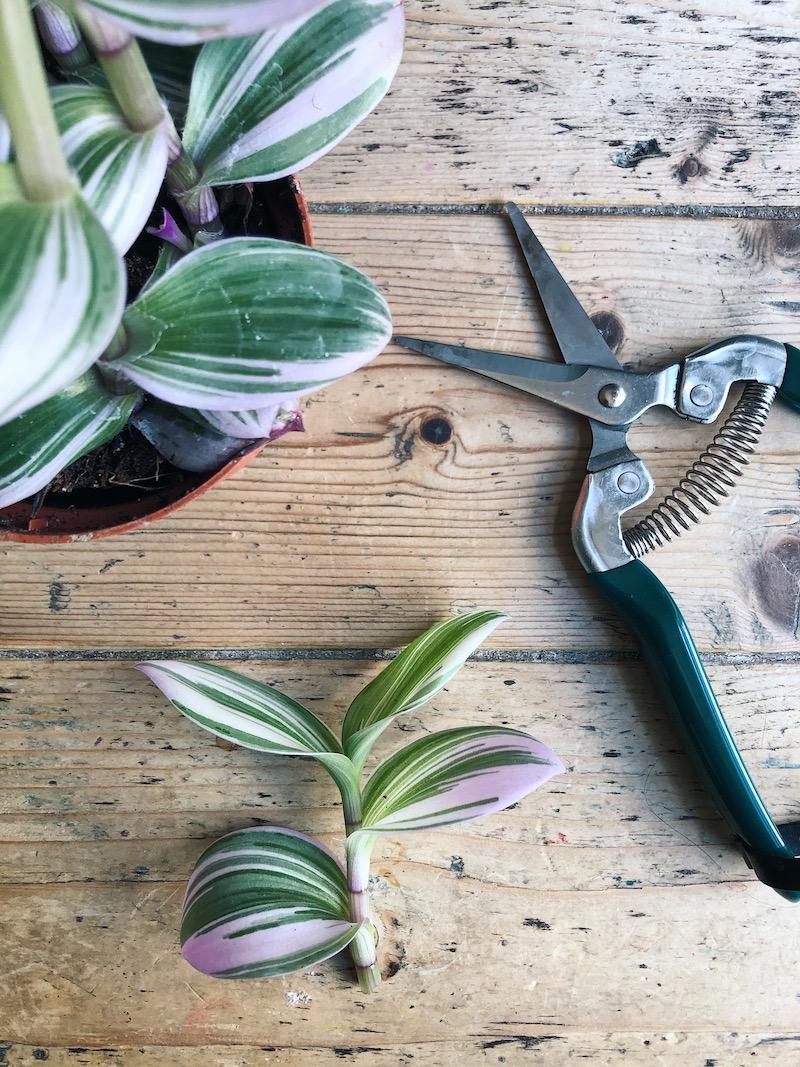Tradescantia cutting propagation